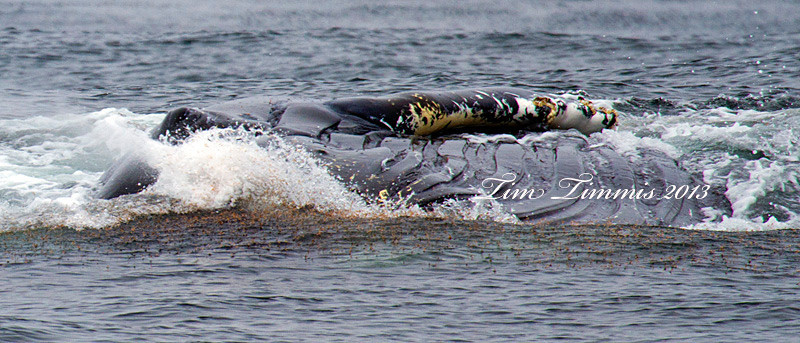 Humpback whale's head out of the water while feeding