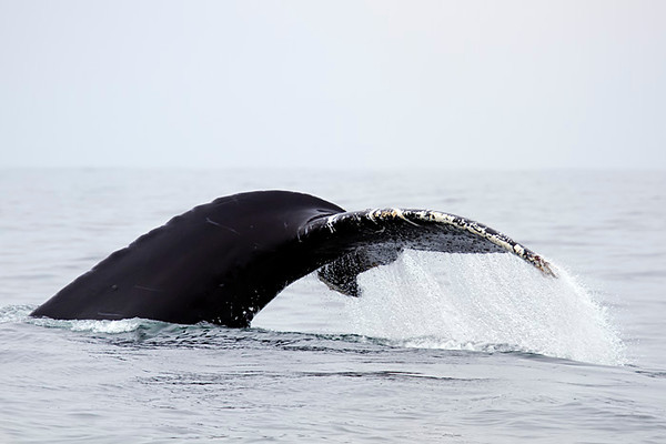 Humpback whale's tail, uncropped at 285mm