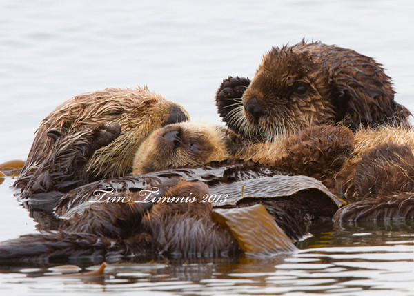 Sea Otter with the little ones, which weren't so little.