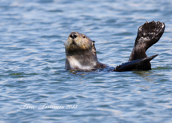 Sea Otter from Morro Bay.  Gotta love those back feet.