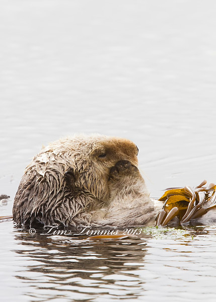 Sea Otter from Morro Bay