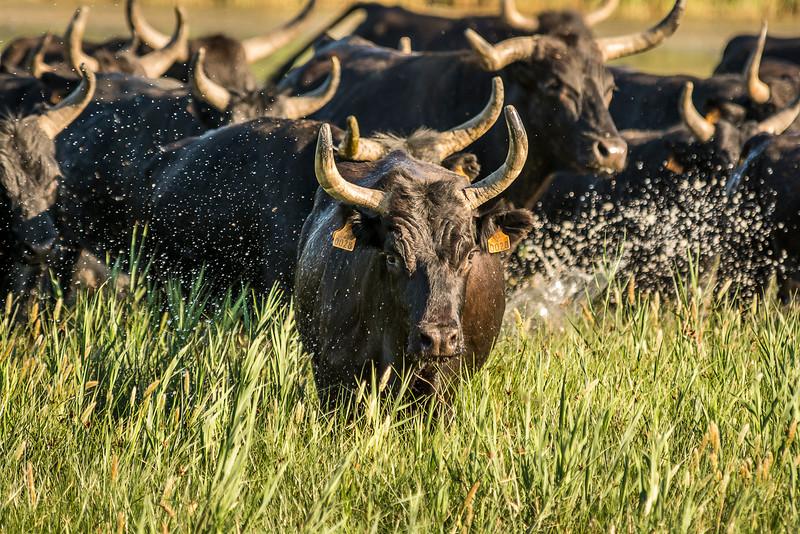 Rounding Up the Camargue Bulls
