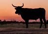 Camargue Bulls at Sunrise