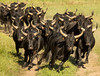 Rounding Up the Camargue Bulls