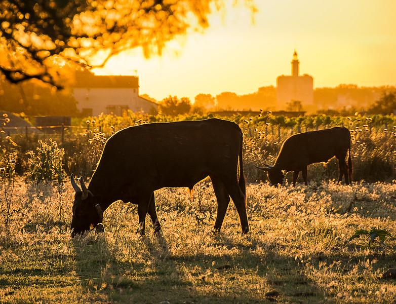 Camargue Bulls at Sunrise