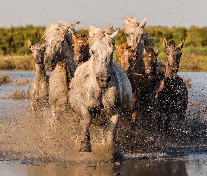 Camargue Mares & Foals