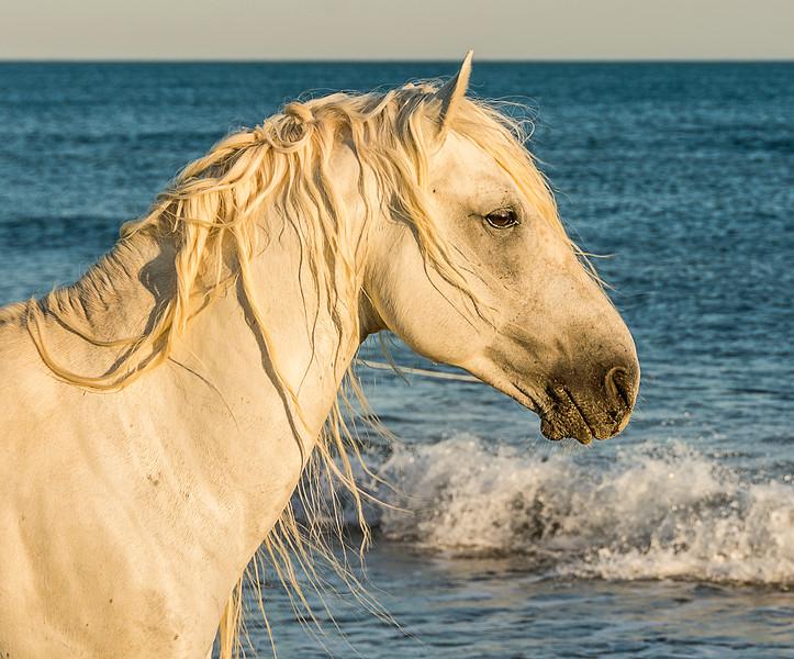 Camargue Stallion on Beach