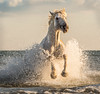 Camargue Stallion on Beach