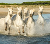 Horses on Camargue Beach