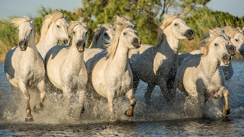Horses in Camargue Marsh