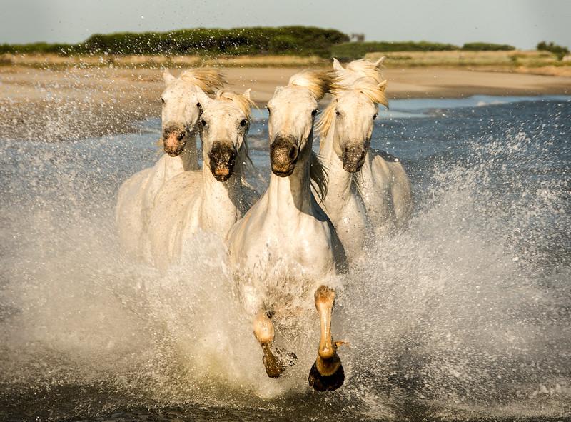 Horses on Camargue Beach