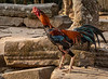 Ta Prohm Rooster