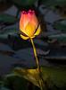 Kampong Tralach- Lotus Pond - Cambodia