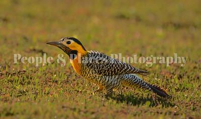CampoGrande-July-Wildlife/Birds