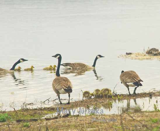 In the background is the goose family from gallery 1.  The two groups have formed a flock or creche, which is very common among Canada Geese.