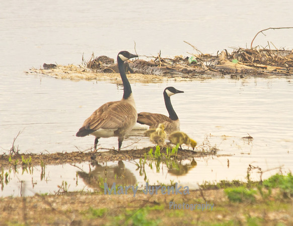 Canada geese stay within a particular area when their goslings are young but move move frequently within that area to find food and keel the goslings out of harm's way.