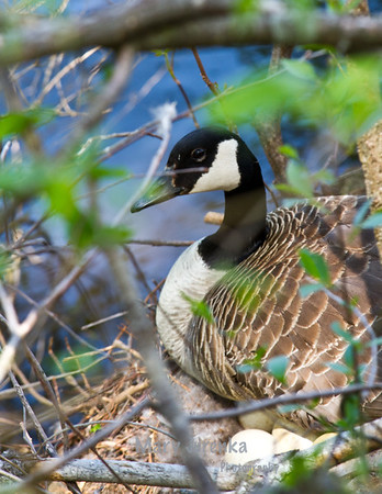 This Canadian goose and her eggs were taken on Pine Lake in Eldora, Iowa in May 2013.