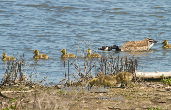 Canada goose parent is pushing goslings to safety, while two from another brood look for food on shore.  This was taken in Jester Park near Polk, City Iowa.