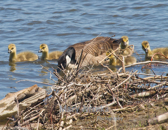 Canada goose and goslings ashore on Saylorville Lake in Jester Park near Ankeny, Iowa.