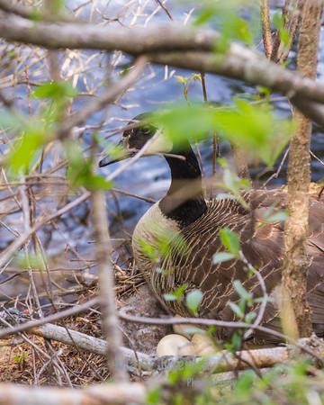 female goose laying on eggs in Pine Lake near Eldora, Iowa