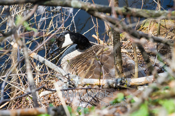female goose laying on eggs in Pine Lake near Eldora, Iowa