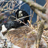 This female goose was photographed as she sat on her clutch of eggs. Her mate can be seen in the background.  Typically, females stay on the nests, while males provide food and help protect the nest from predators.