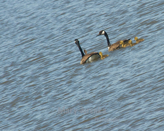 Canada geese pair and goslings on Saylorville Lake in Jester Park near Ankeny, Iowa.