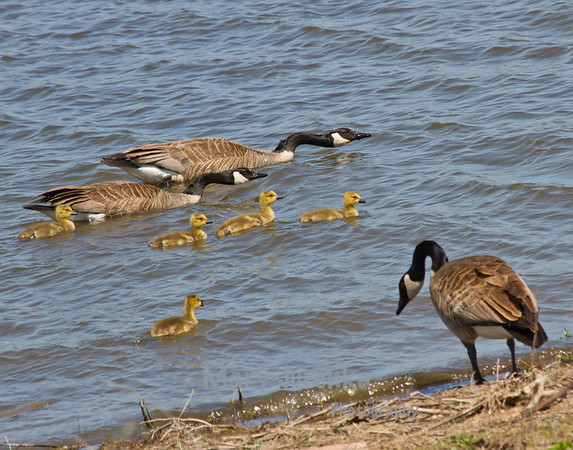 These Canada Geese were photographed at Jester Park on Saylorville Lake near Des Moines, Iowa. The parents are hurrying the goslings along to protect them.