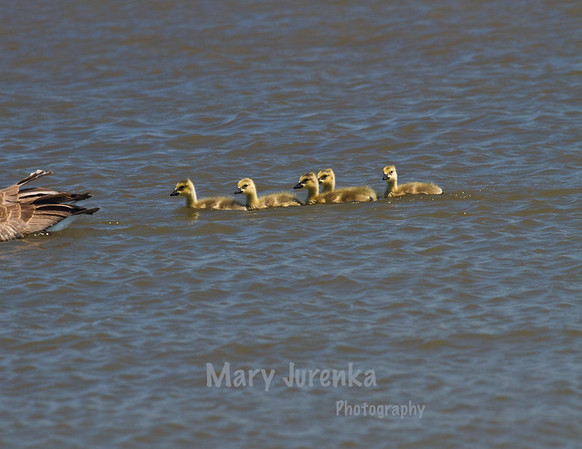 These Canada geese babies were following their parents on Saylorville Lake in Iowa.