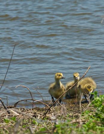 This is a trio of 2 week-old Canada Geese goslings
