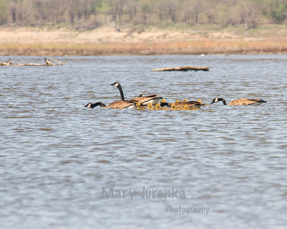 "This ""family"" formed a flock with another group and are together as they move the goslings to a safer place."