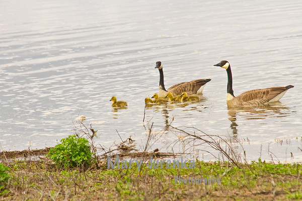 Wild geese stay in a particular area when the goslings are young but move frequently within that area to find food and to keep their young safe.
