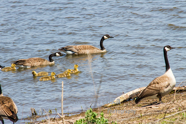 There are two unrelated geese with no goslings.  One is in the foreground.  They are considered a threat to goslings so parents will move their babies to another location.