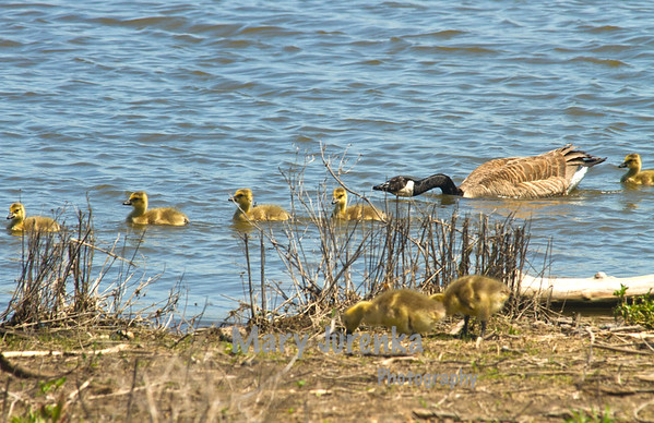 The family swims along the shore as goslings from another group look on.