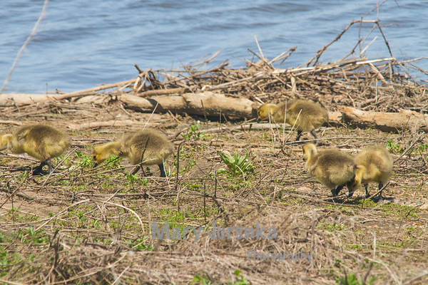 Geese are herbivorous and eat grasses, seeds,  and berries on land and water plants and algae while in the water.