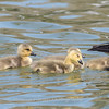 Geese and Chicks 23 Apr 2018-9238