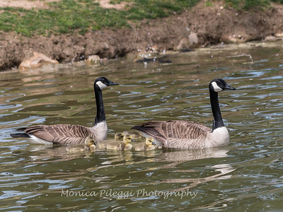 Geese and Chicks 23 Apr 2018-9222