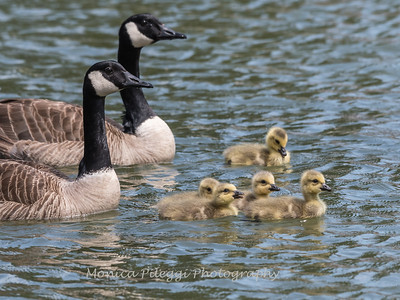 Geese and Chicks 23 Apr 2018-9260