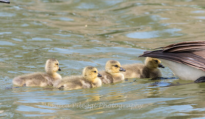 Geese and Chicks 23 Apr 2018-9234