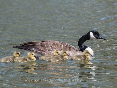 Geese and Chicks 23 Apr 2018-9253