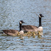 Geese and Chicks 23 Apr 2018-9257