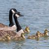 Geese and Chicks 23 Apr 2018-9266