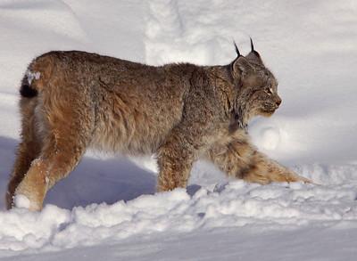 Lynx 002