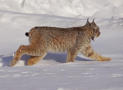 Lynx 004