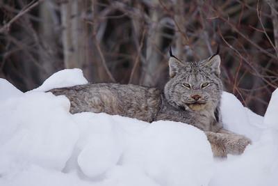 Lynx 005
