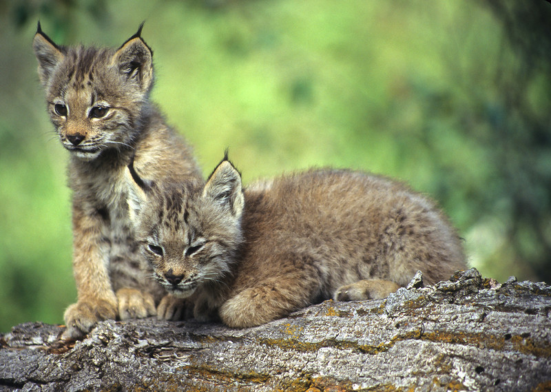 A pair of canadian lynx kittens playing together on a fallen tree.  One of the kittens is becoming sleepy.