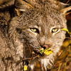 A cautious canadian lynx stalks through a fall forest.  She is on the trail of dinner and stops to look about.