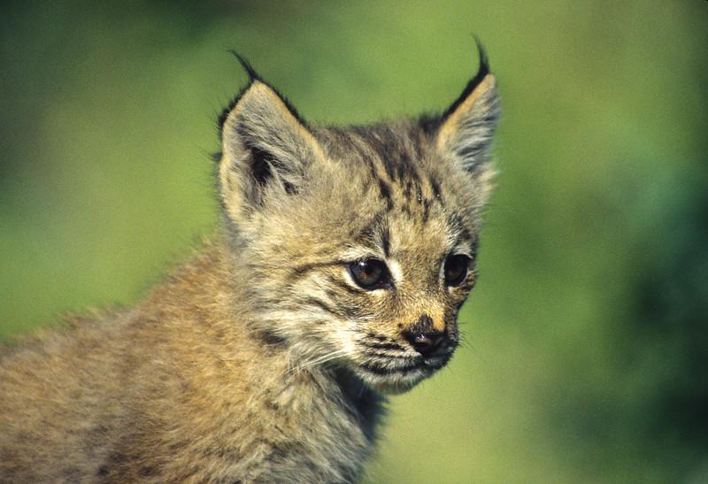 A very cute lynx kitten