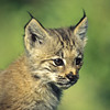 A very cute lynx kitten