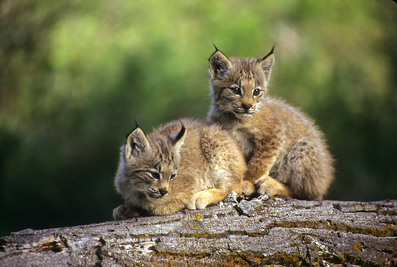 There is nothing cuter in the world.  These two lynx kittens love their favorite tree.  They are uninhibited and are just having fun.